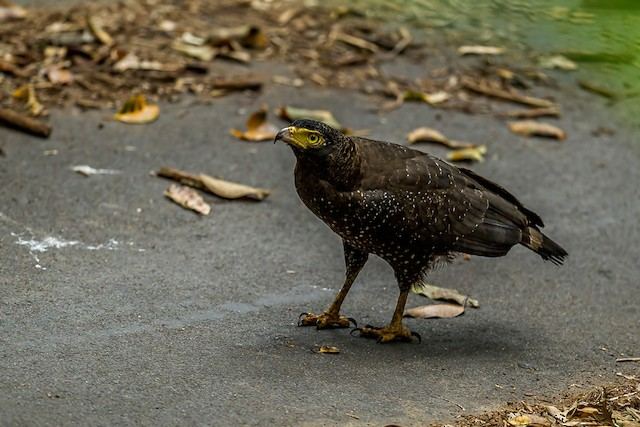 Andaman Serpent-Eagle