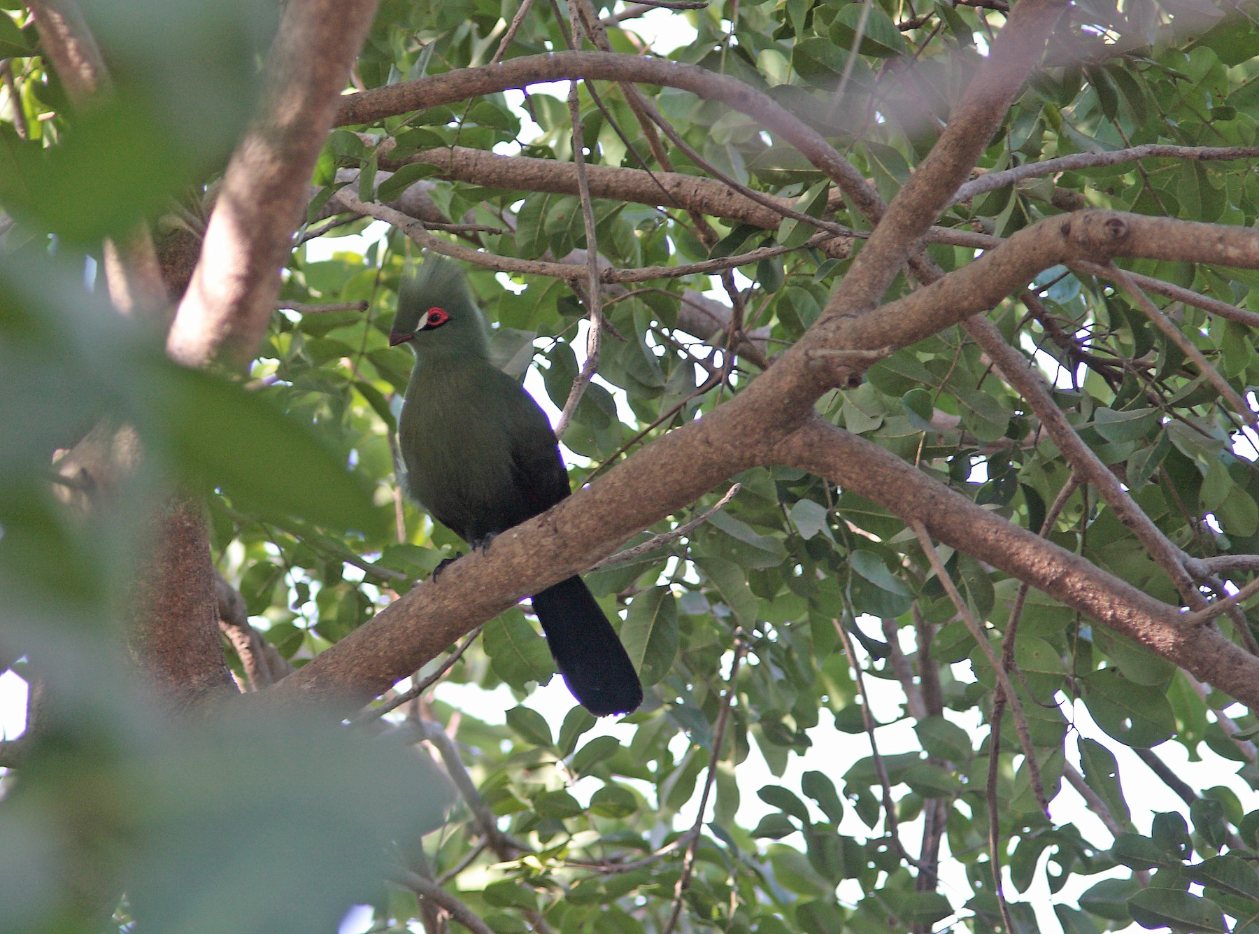 Guinea Turaco - Ray Scally