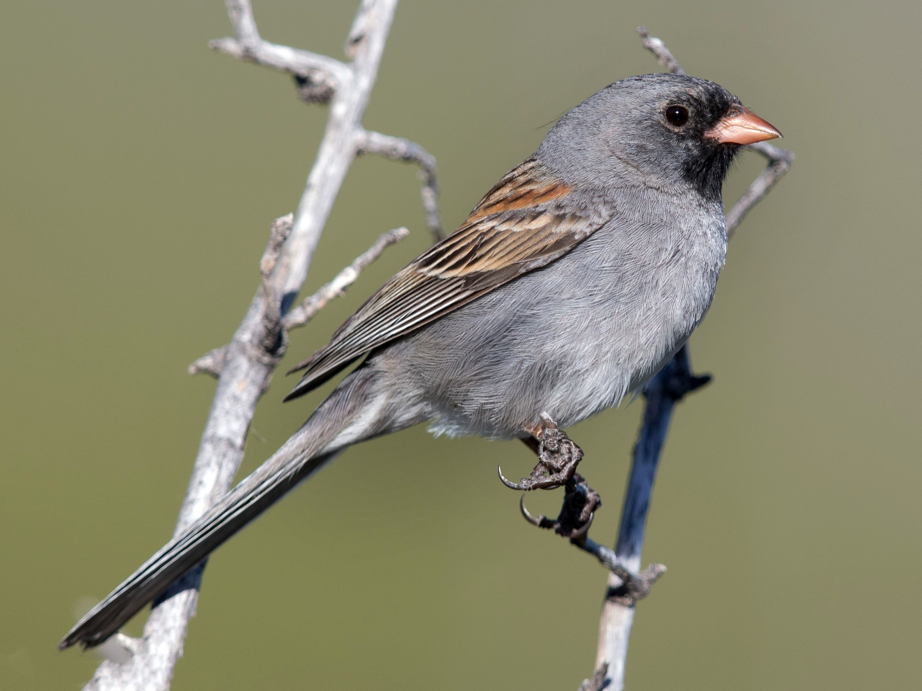 Black-chinned Sparrow - Jim Hully
