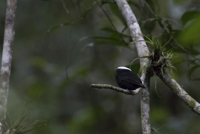 """White-crowned Manakin male (presumed subspecies <em>anthracina</em><em class=""""SciName notranslate"""">)</em>"""