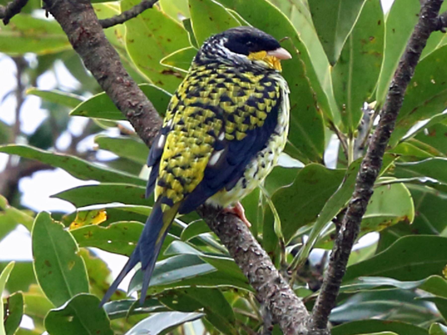 Swallow-tailed Cotinga - Nigel Voaden