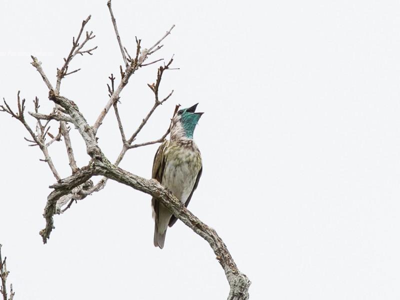 Bare-throated Bellbird - Silvia Faustino Linhares
