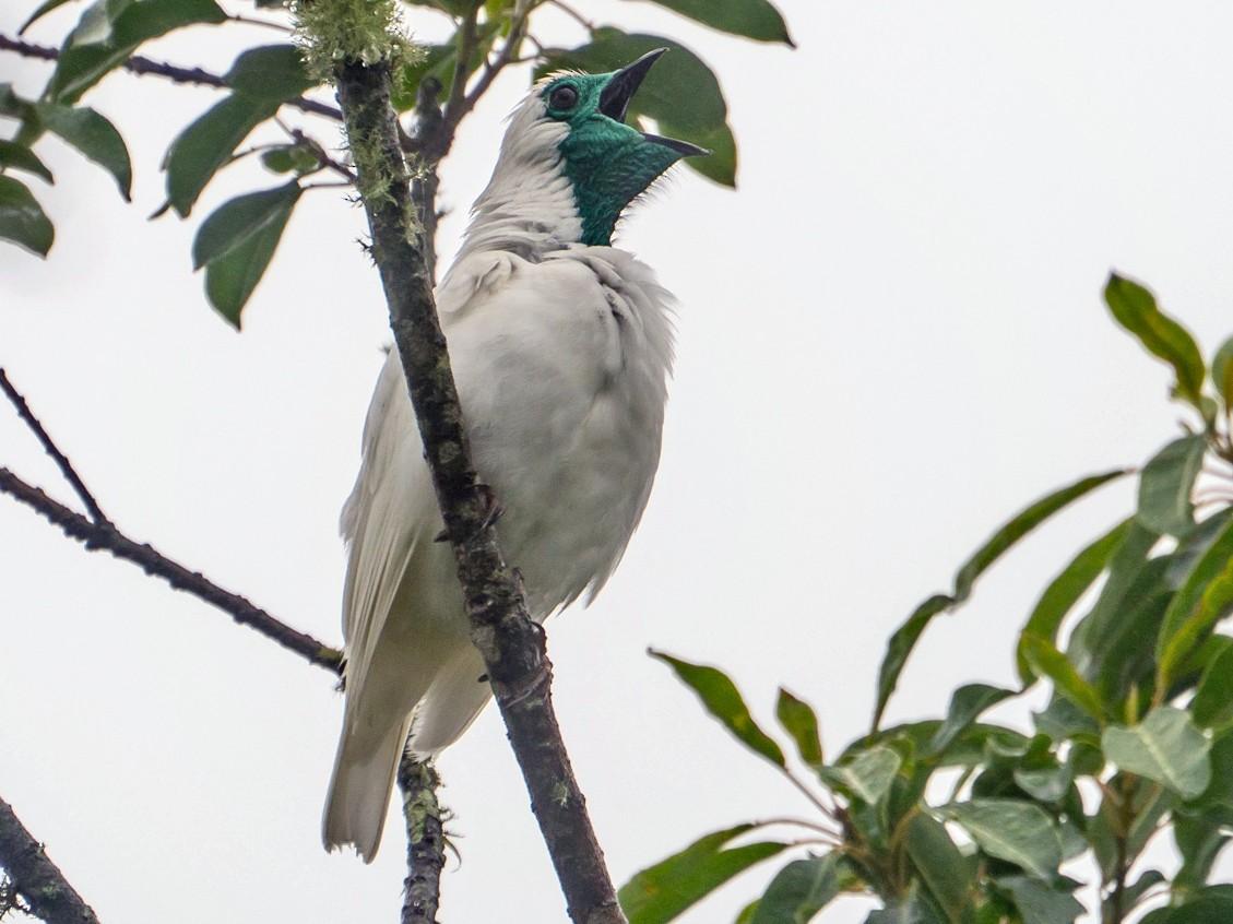Bare-throated Bellbird - Joao Quental JQuental