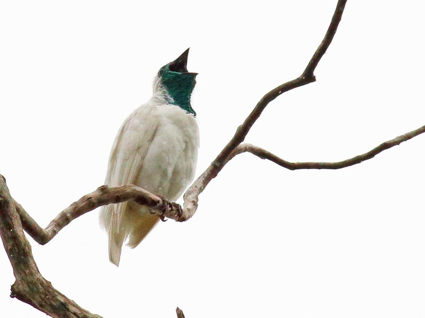 Bare-throated Bellbird - Rick Folkening