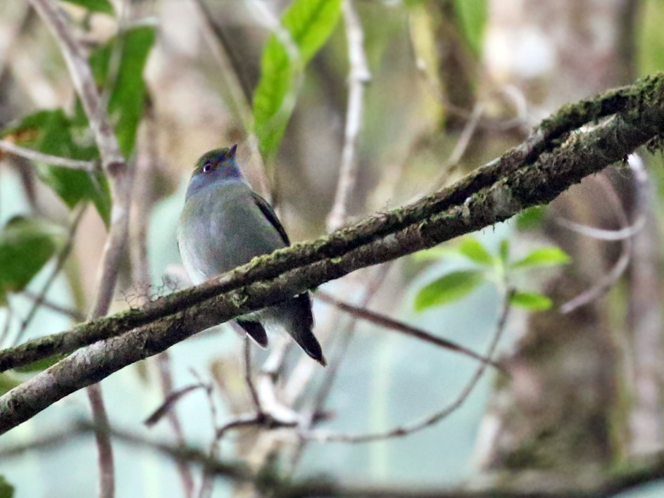 Pin-tailed Manakin - Charley Hesse TROPICAL BIRDING