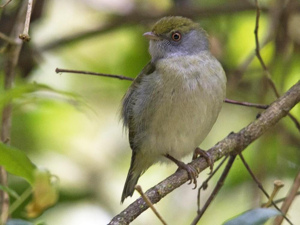 Pin-tailed Manakin - Marco Silva