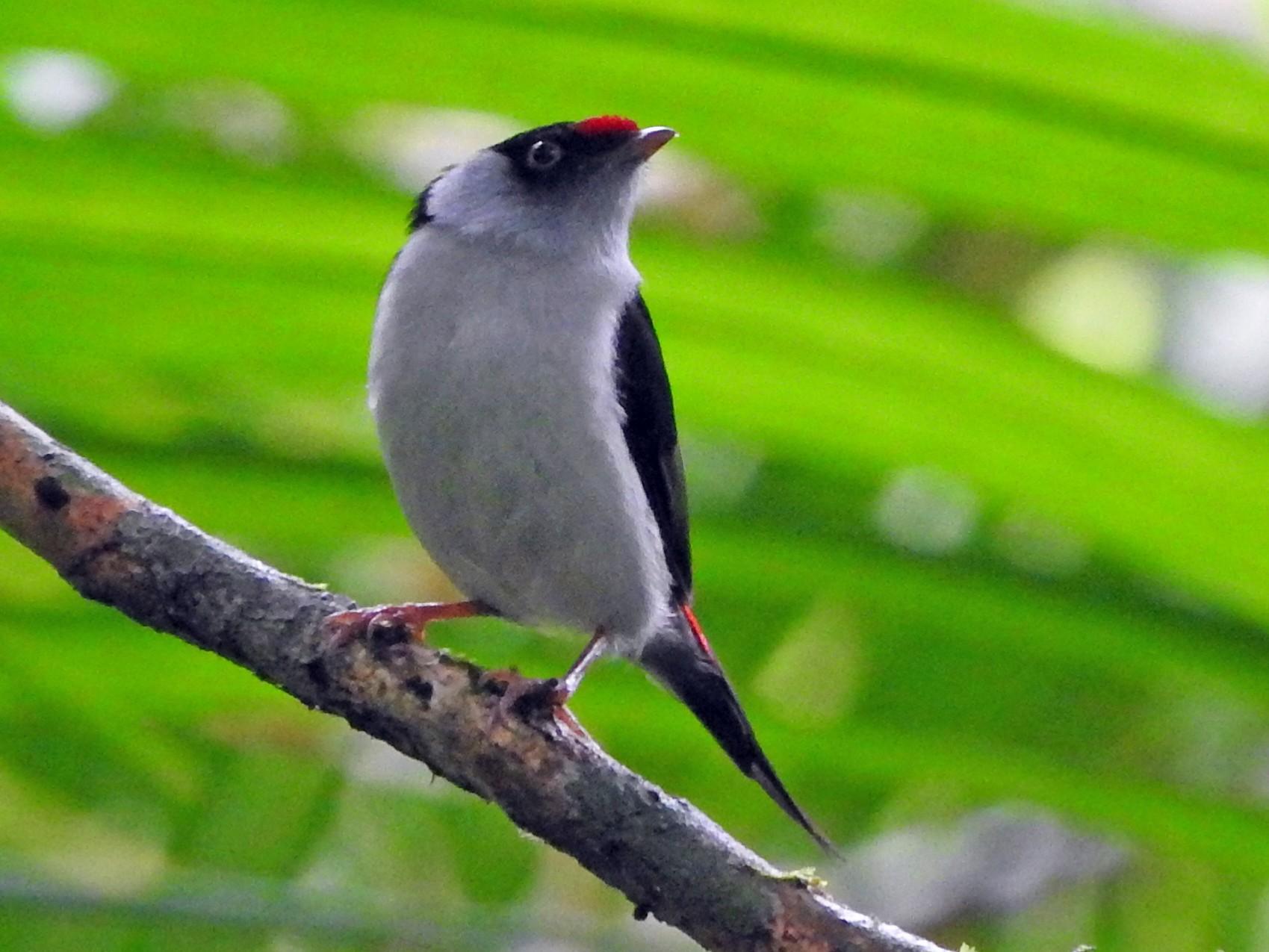 Pin-tailed Manakin - Juliano Gomes