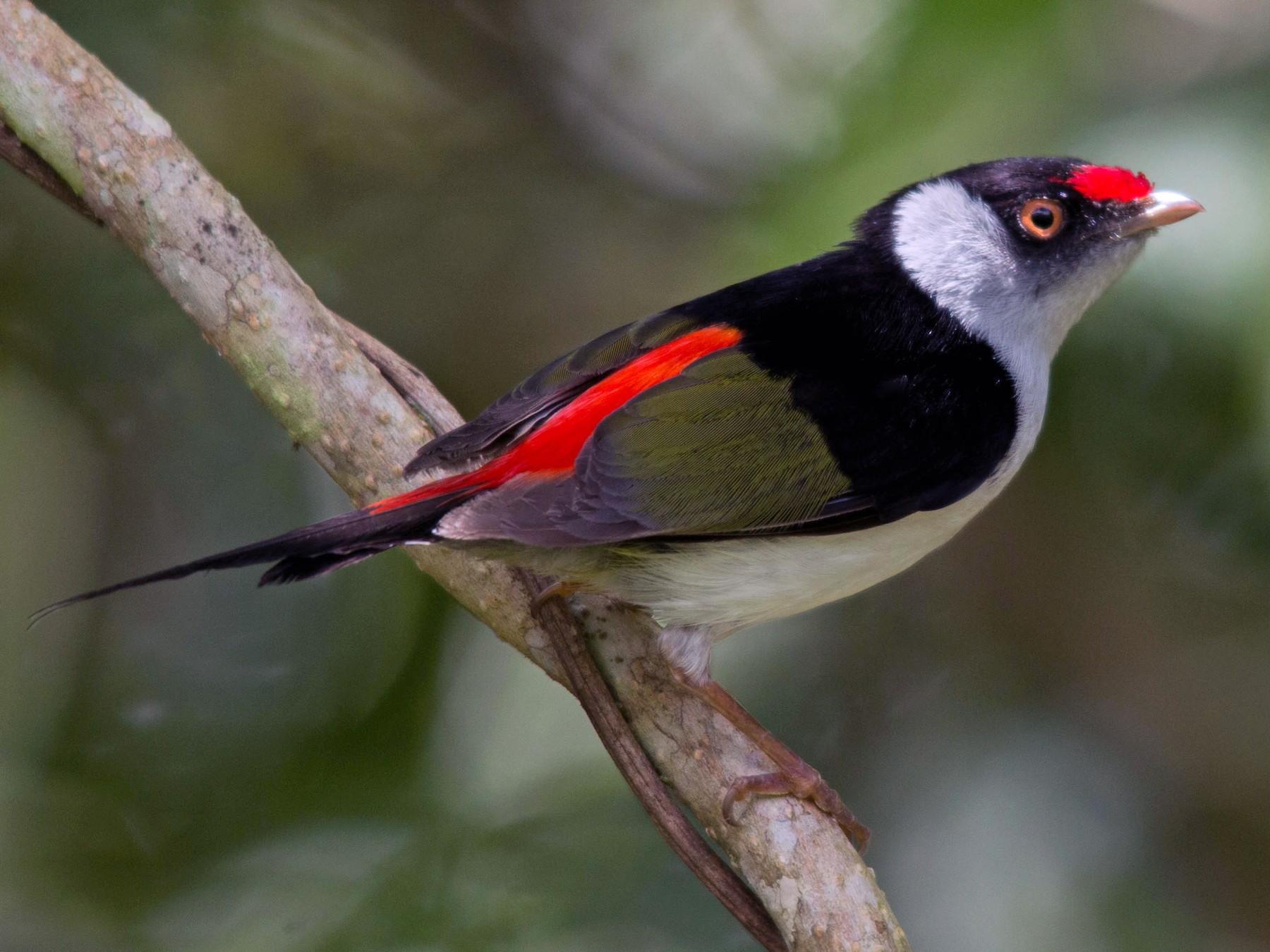 Pin-tailed Manakin - João Vitor Perin Andriola