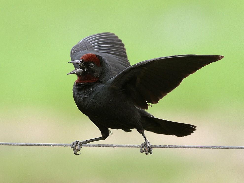 Chestnut-capped Blackbird - Alex Mesquita