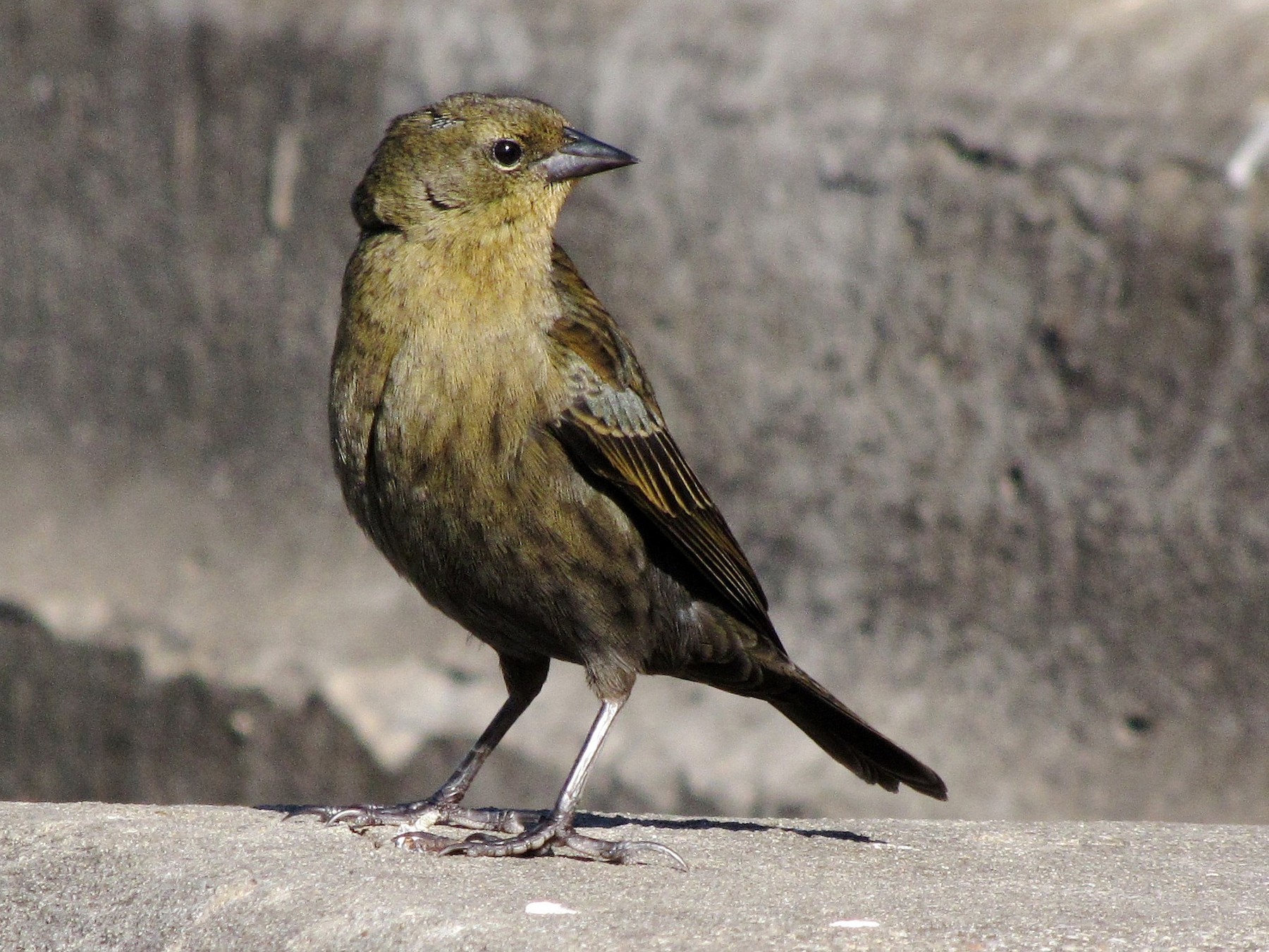 Chestnut-capped Blackbird - Hugo Hulsberg