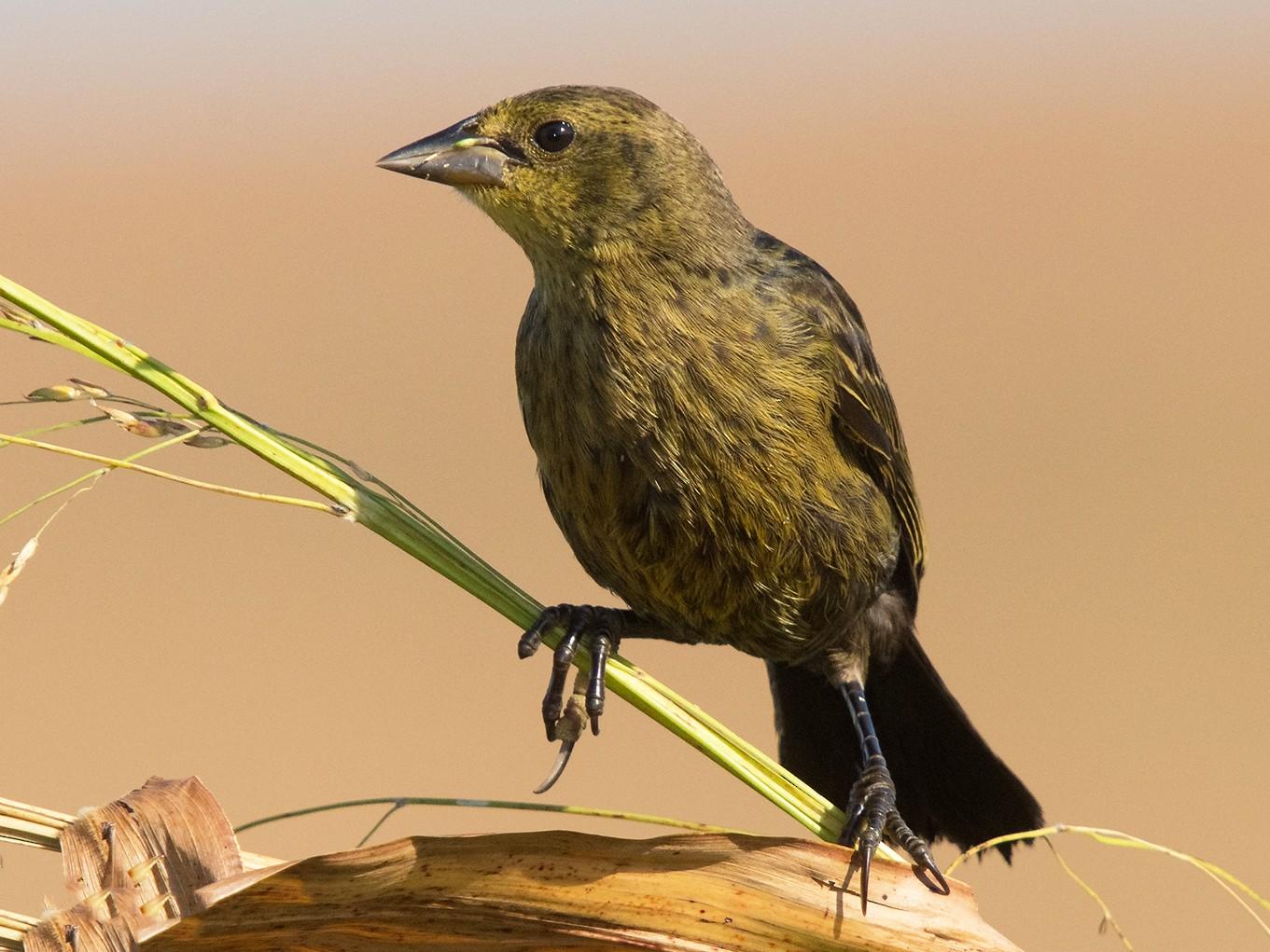 Chestnut-capped Blackbird - Marcelo Allende