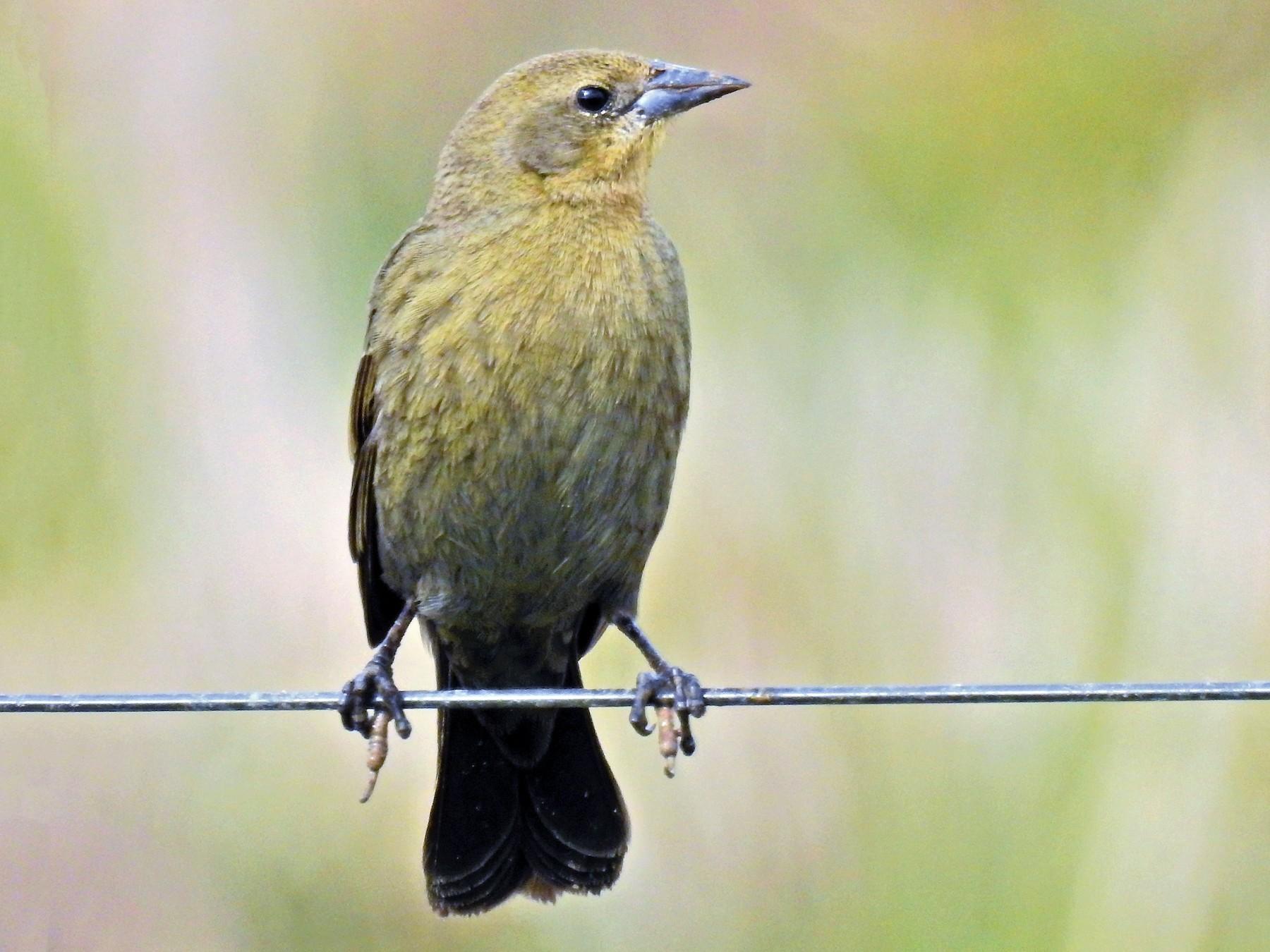 Chestnut-capped Blackbird - CLAUDIO FILHO