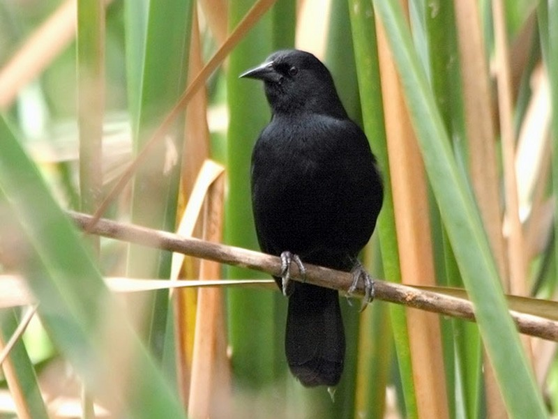 Unicolored Blackbird - Americo Vilte