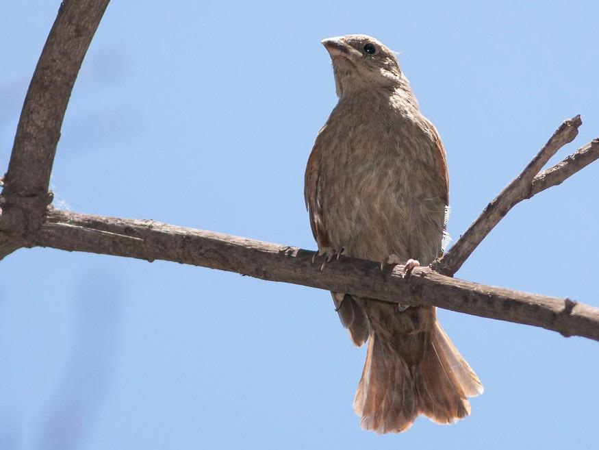 Screaming Cowbird - Ariel Cabrera Foix
