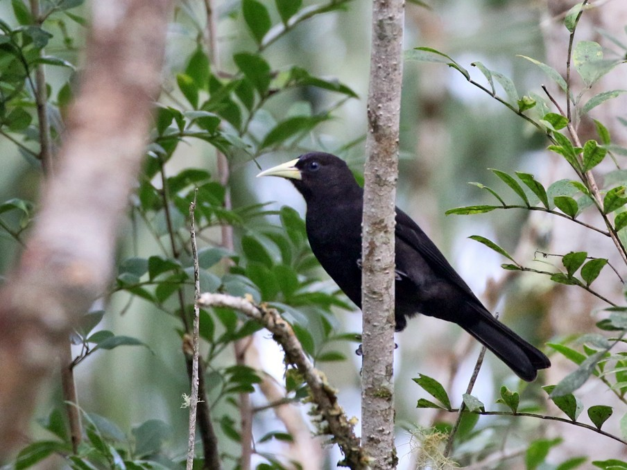 Red-rumped Cacique - Charley Hesse TROPICAL BIRDING