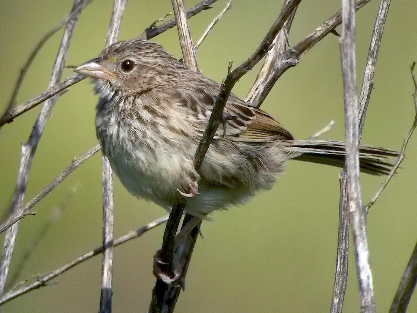 Grassland Sparrow - Juan Klavins