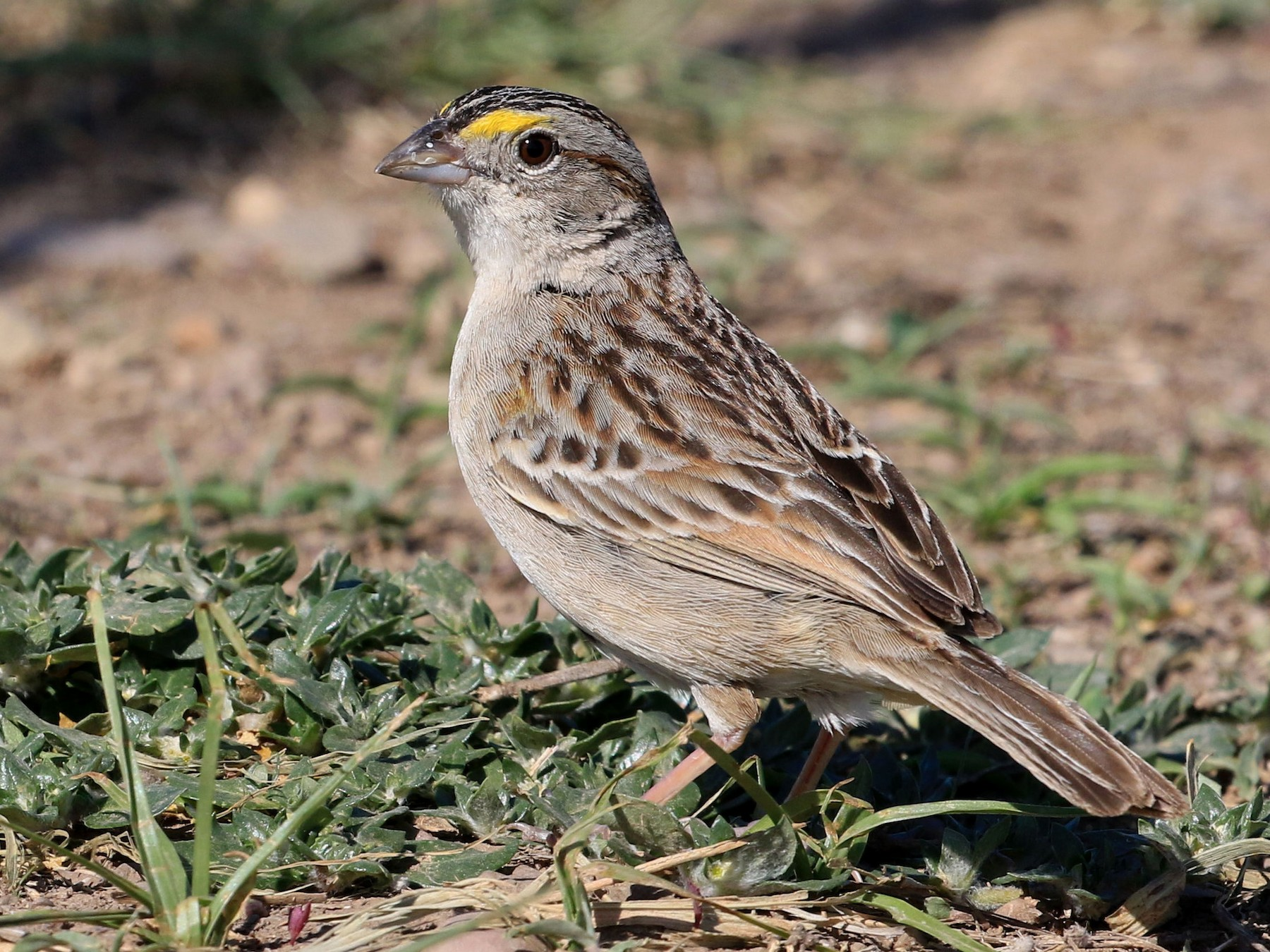 Grassland Sparrow - Patrick MONNEY