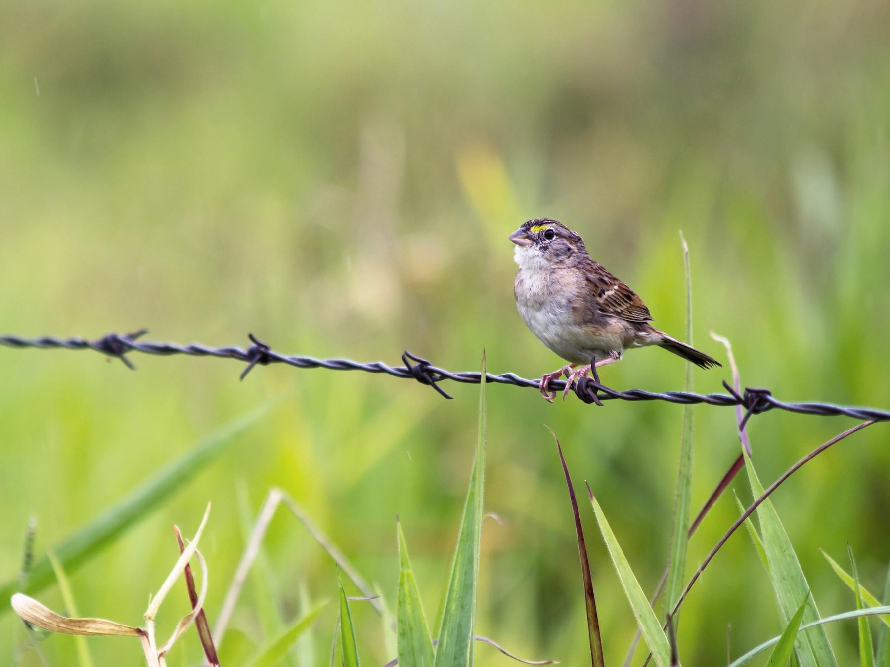 Grassland Sparrow - André  Zambolli