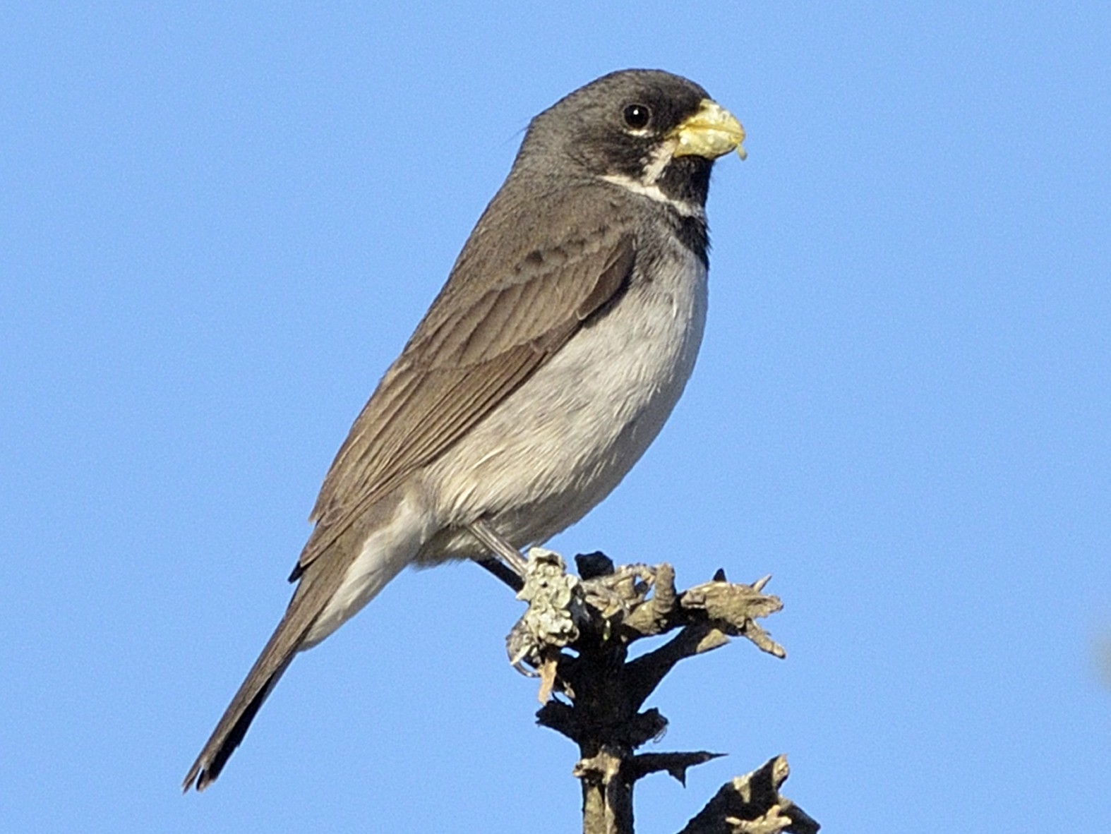Double-collared Seedeater - Nahuel Melisa Aguirre Gago