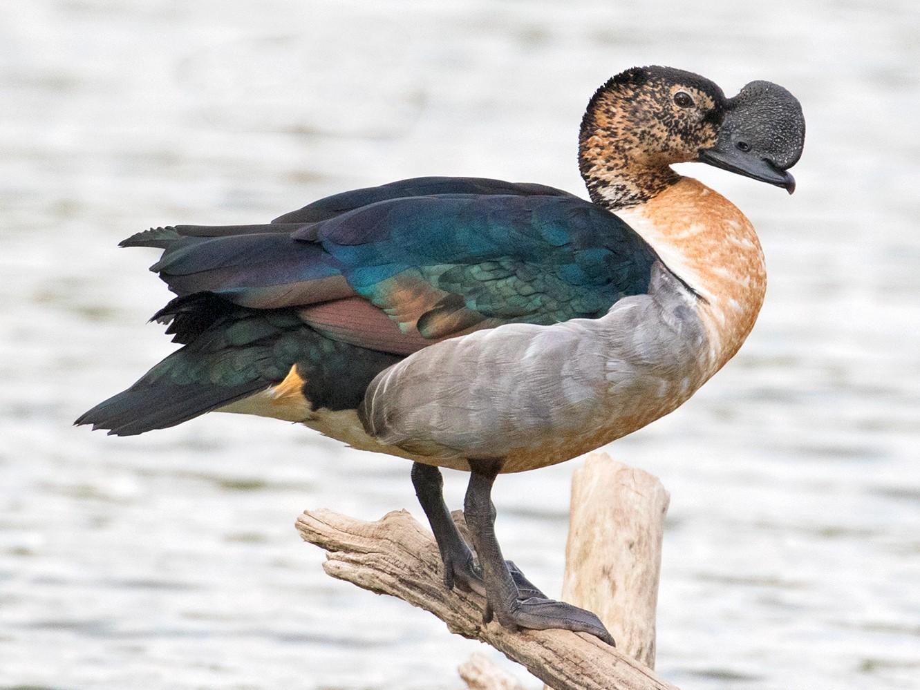 Knob-billed Duck - Sam Woods