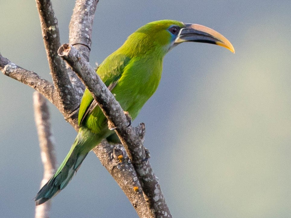 Groove-billed Toucanet - Cory Gregory