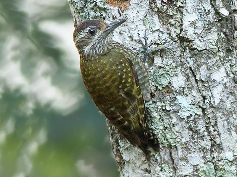 White-spotted Woodpecker - Martjan Lammertink