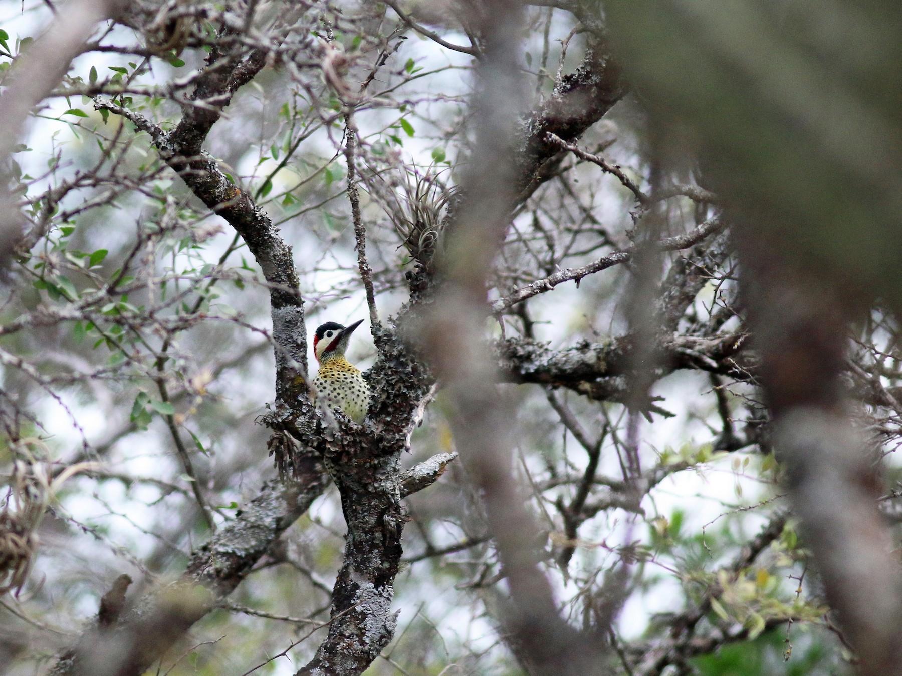 Green-barred Woodpecker - Steve Walker