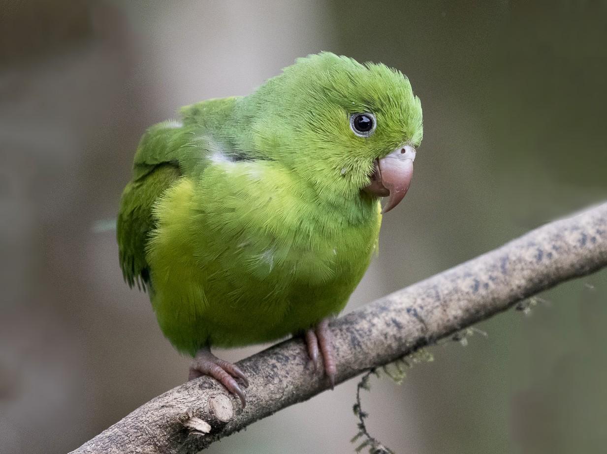 Plain Parakeet - Silvia Faustino Linhares