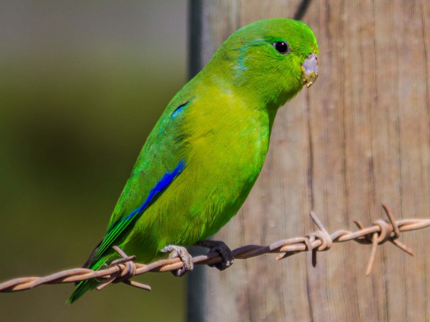 Blue-winged Parrotlet - André  Zambolli