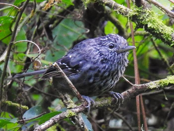 Dusky-tailed Antbird - Jonas Kilpp