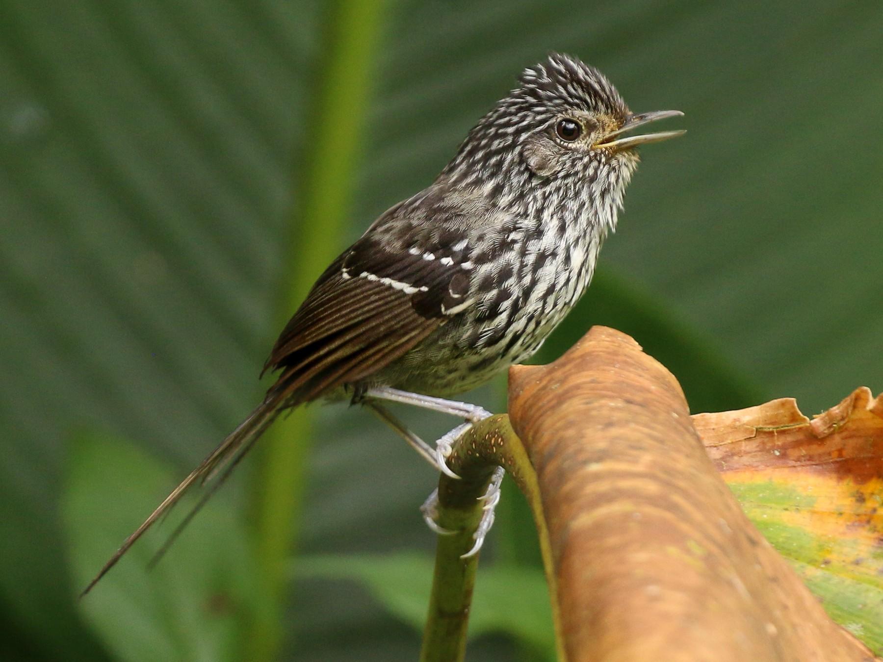 Dusky-tailed Antbird - Tommy Pedersen