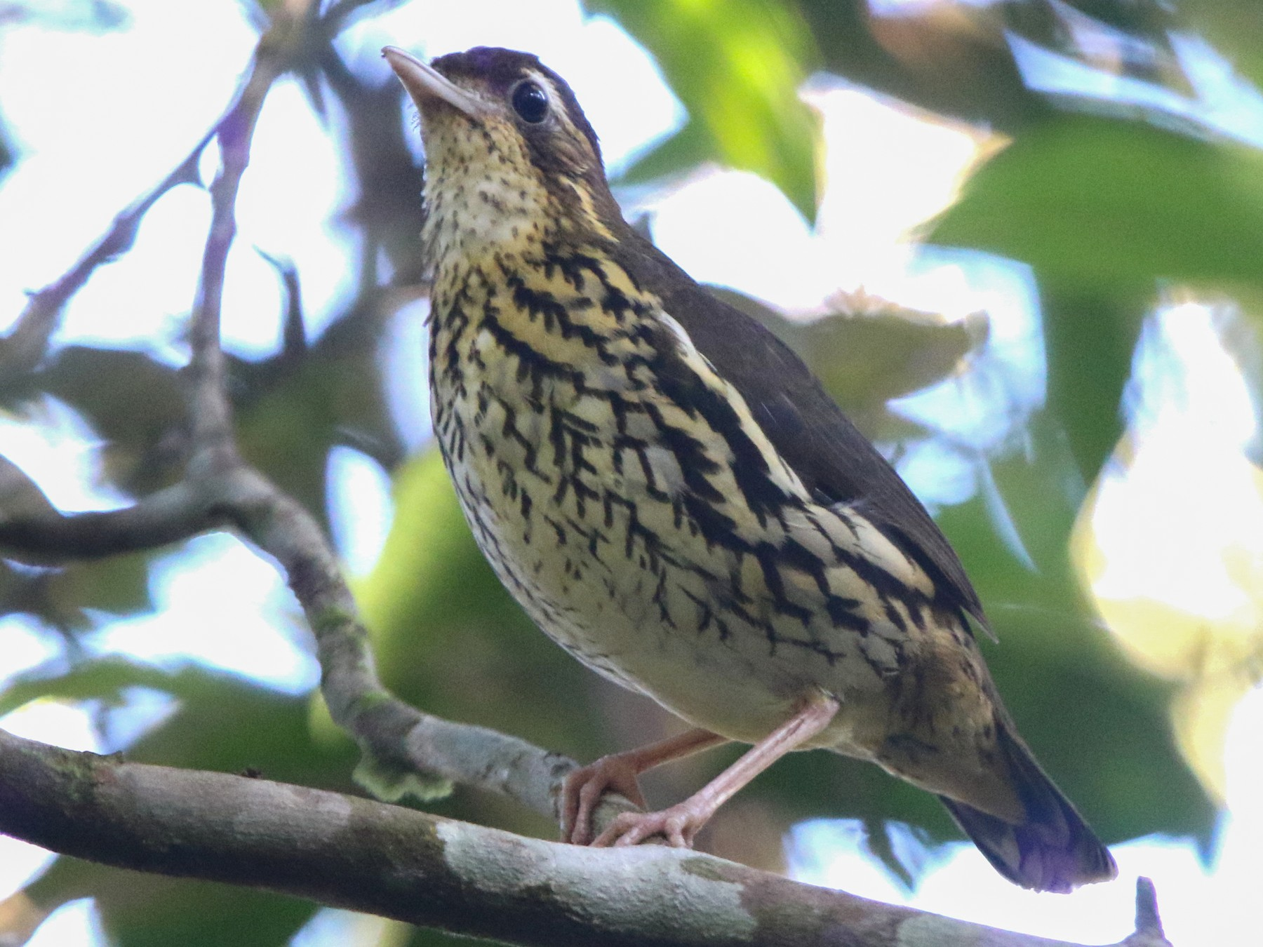 Short-tailed Antthrush - Thompson Ian