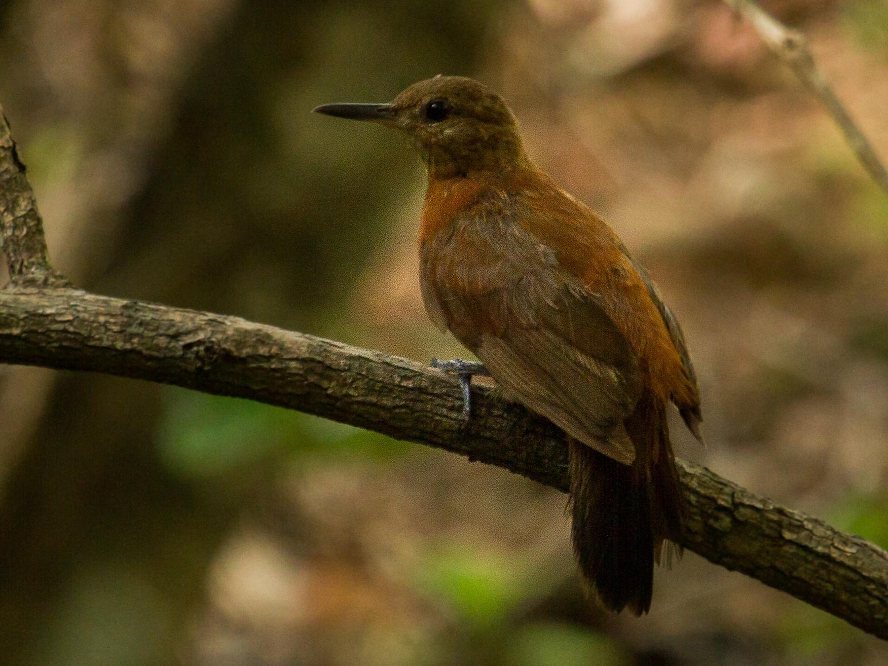 Rufous-breasted Leaftosser - Daniel Fernandes Perrella