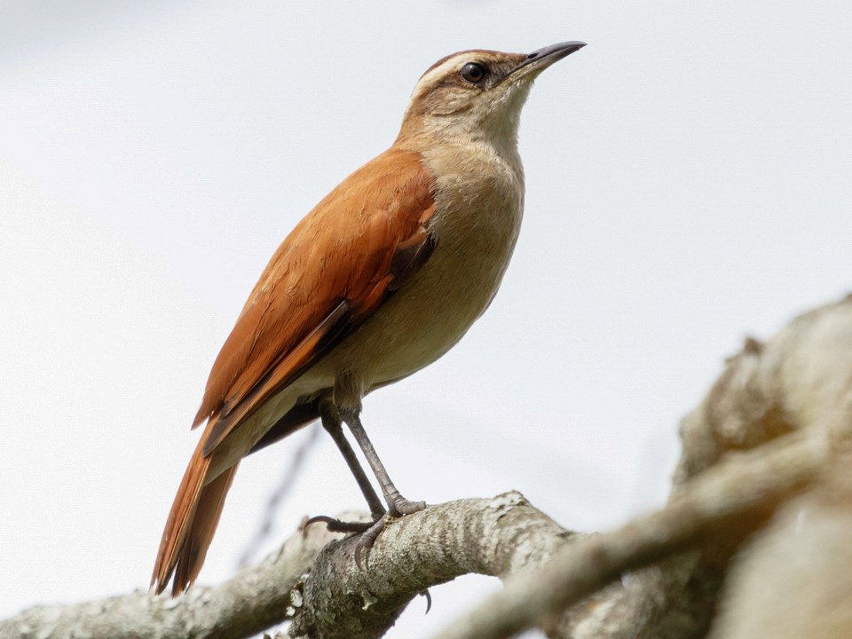 Wing-banded Hornero - Silvia Faustino Linhares
