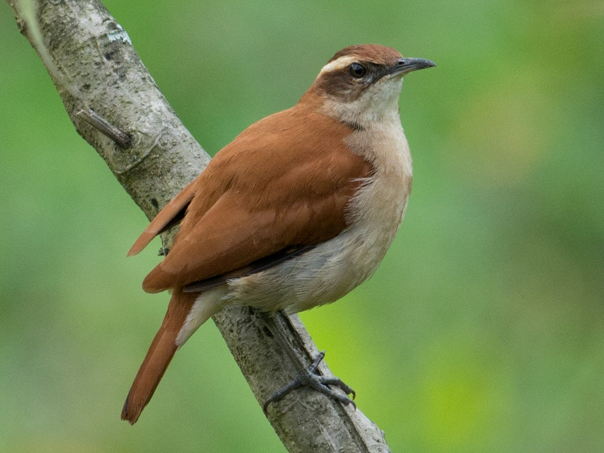 Wing-banded Hornero - Hudson - BirdsRio