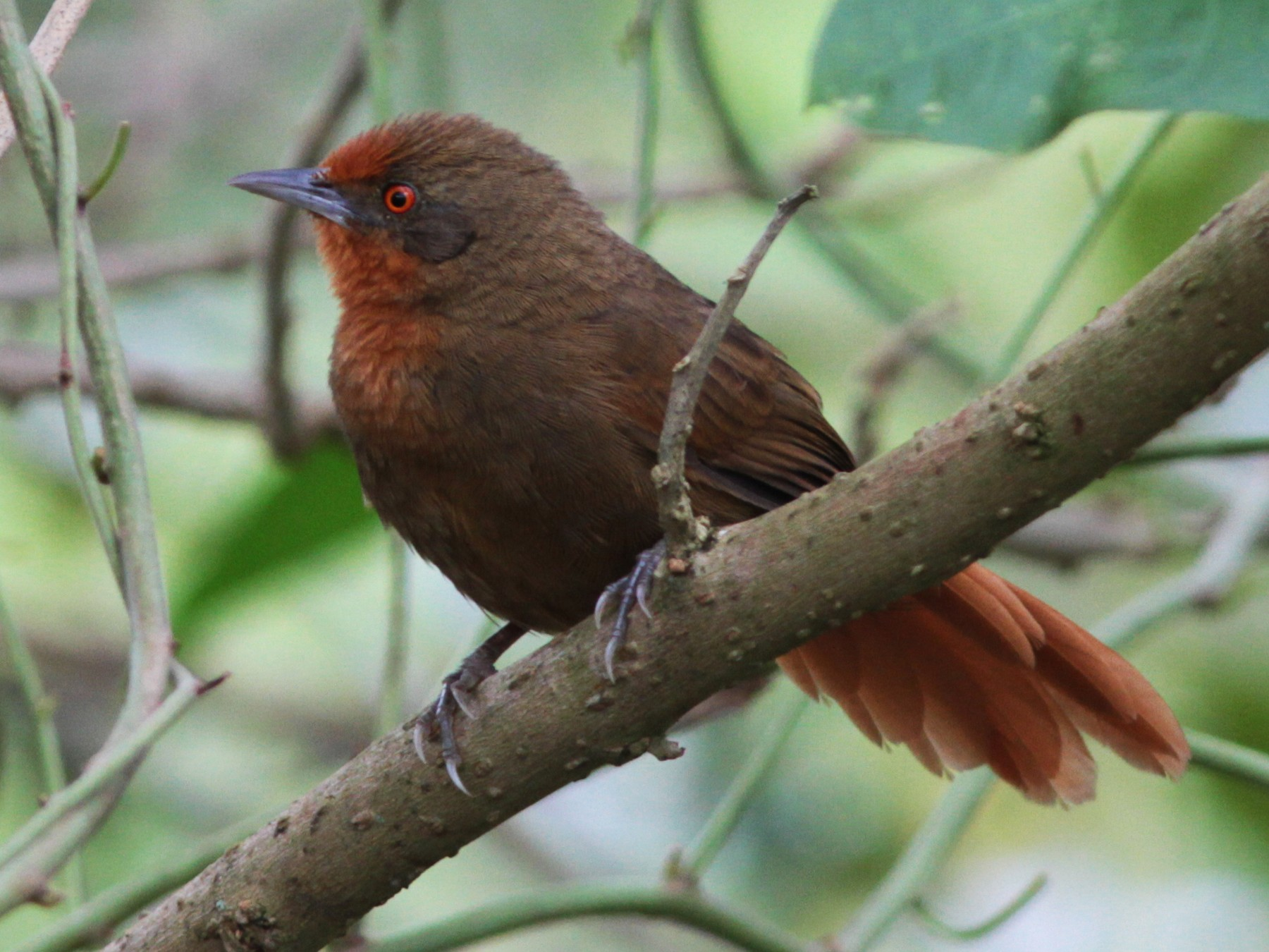 Orange-eyed Thornbird - Alex Mesquita