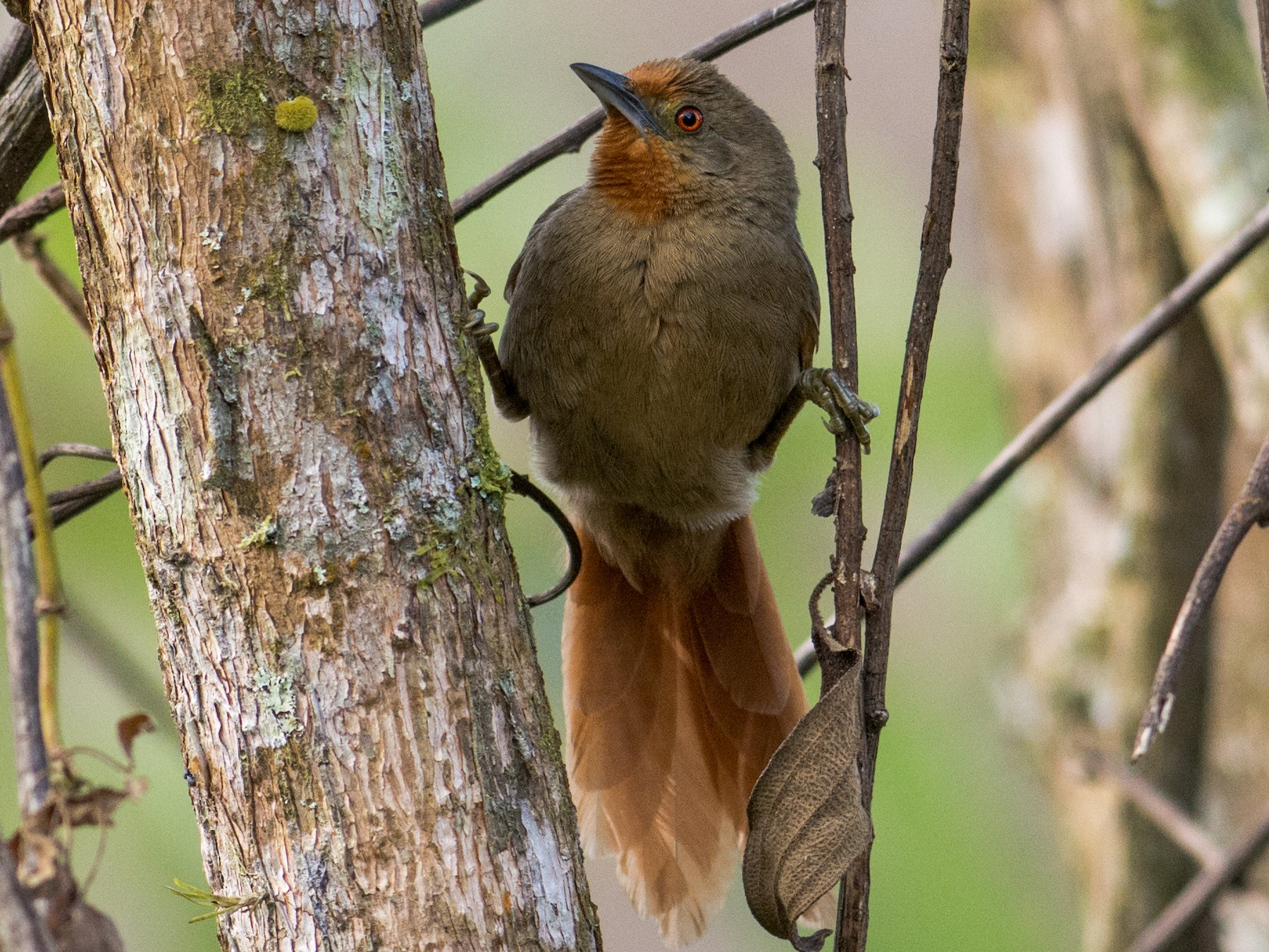 Orange-eyed Thornbird - Hudson - BirdsRio