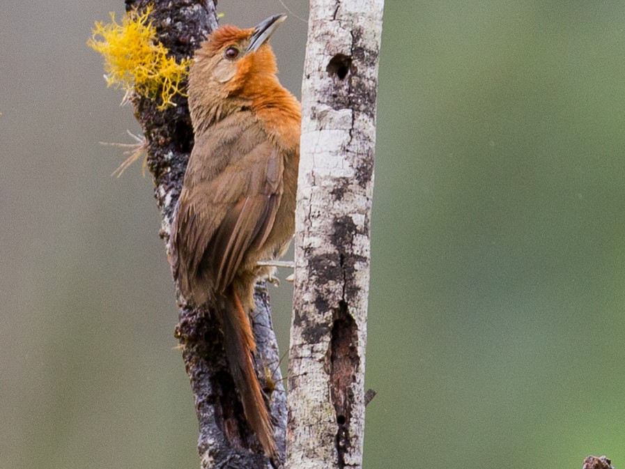 Orange-breasted Thornbird - David Disher