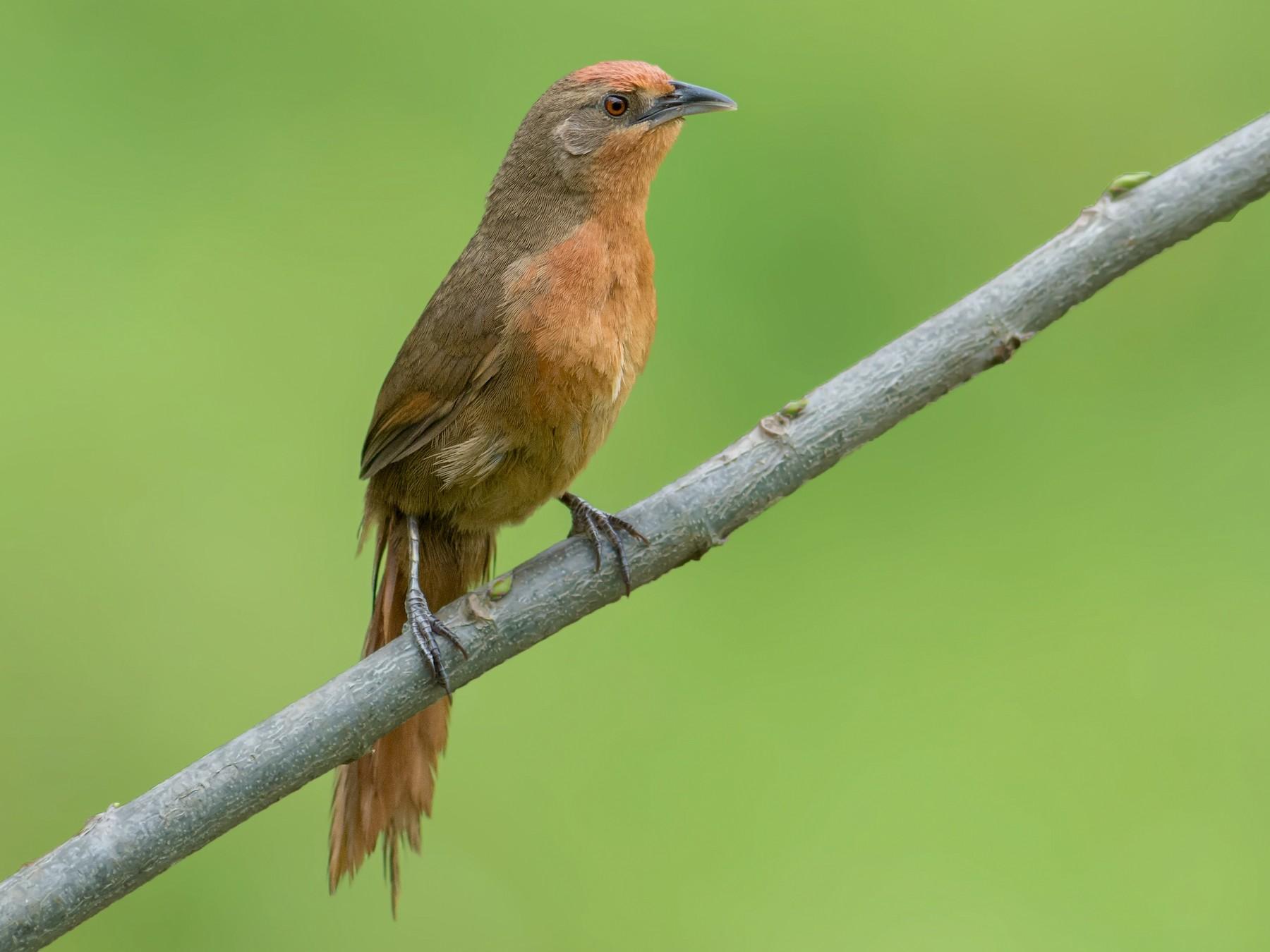 Orange-breasted Thornbird - Hudson - BirdsRio