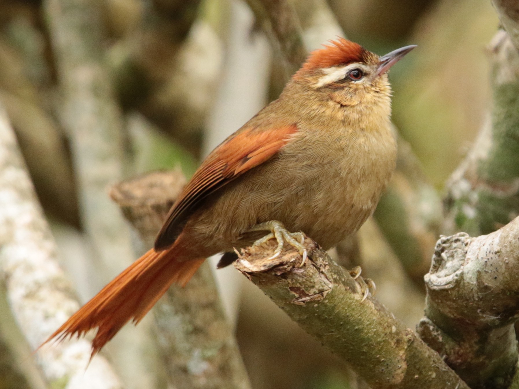 Pallid Spinetail - Arco Huang