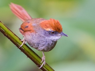 - Rufous-capped Spinetail