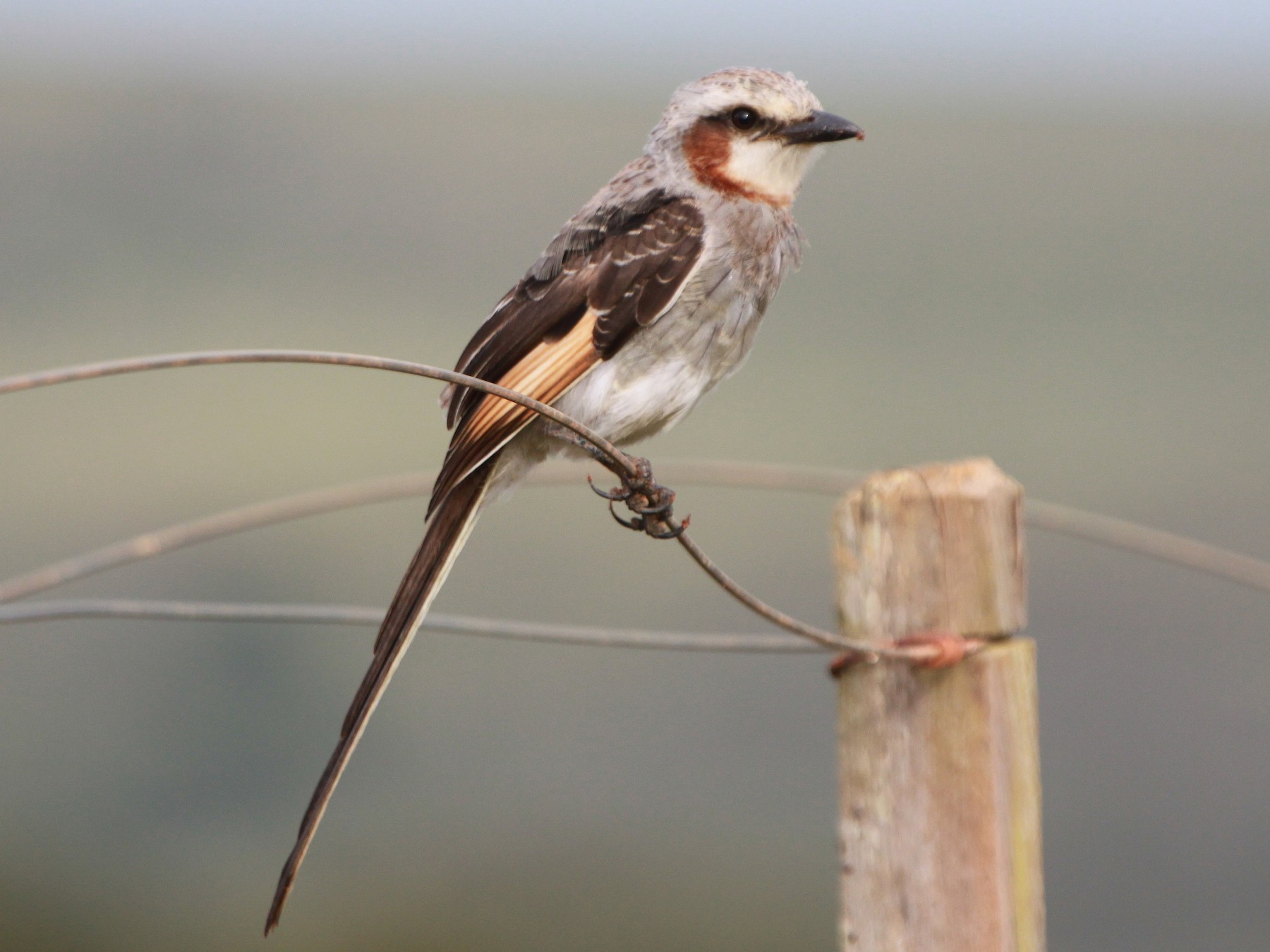 Streamer-tailed Tyrant - Alexander Lees