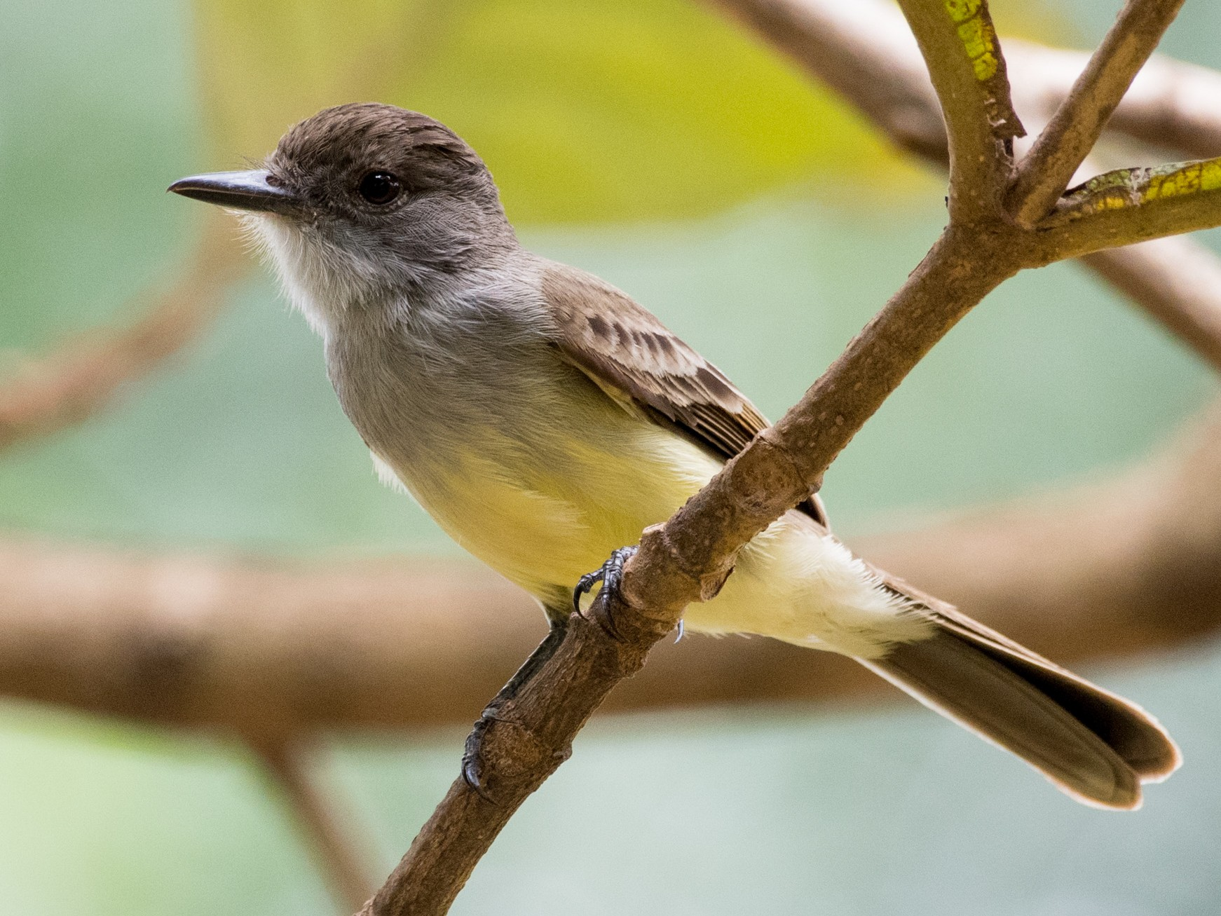 Short-crested Flycatcher - Flavio Moraes