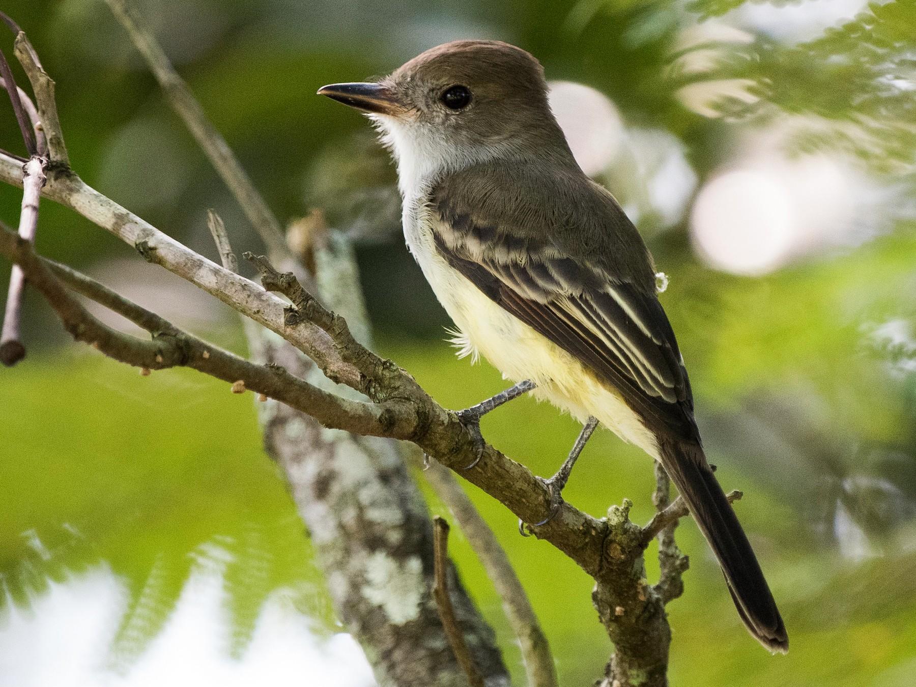 Short-crested Flycatcher - Luiz Carlos Ramassotti