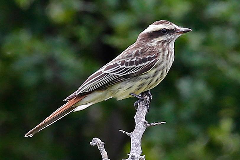 Variegated Flycatcher - Laura Keene