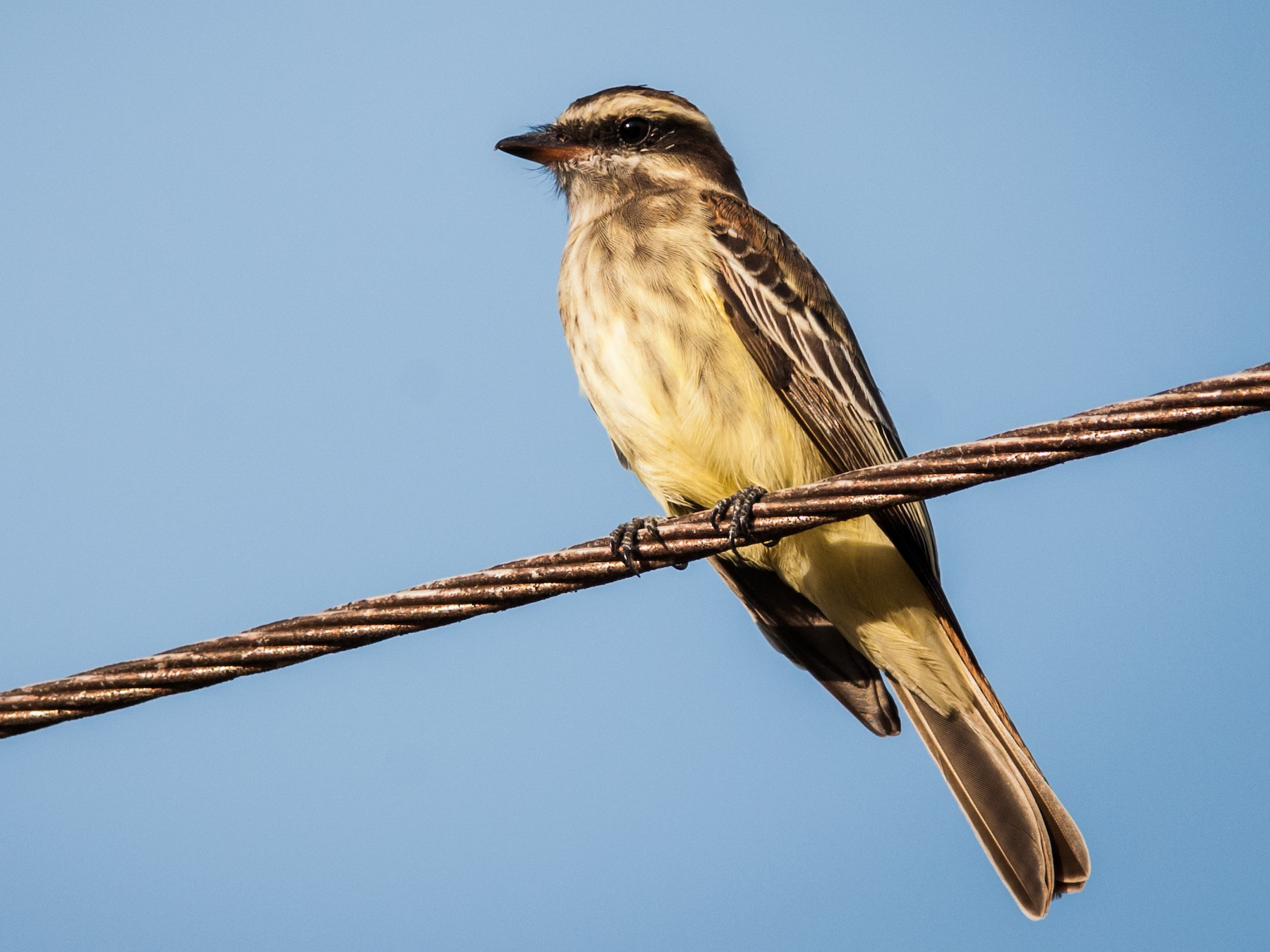 Variegated Flycatcher - Claudia Brasileiro