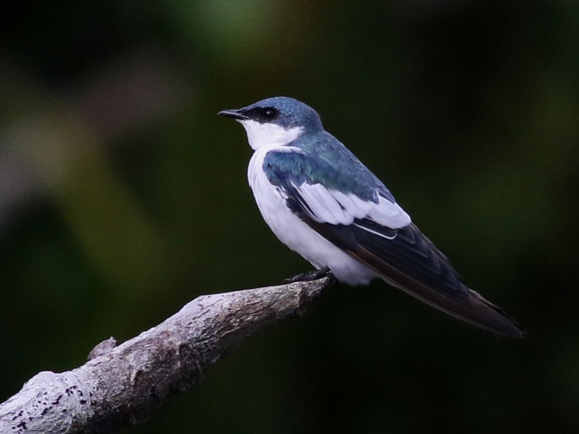 White-winged Swallow - Jay McGowan