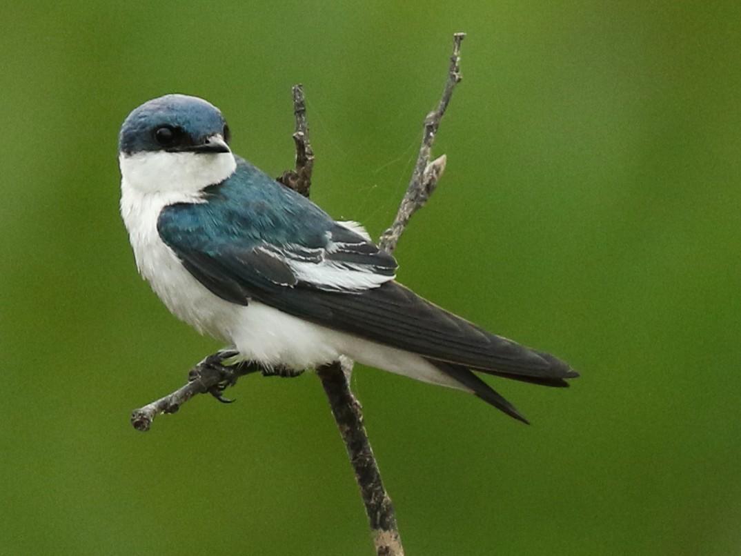 White-winged Swallow - Luke Seitz