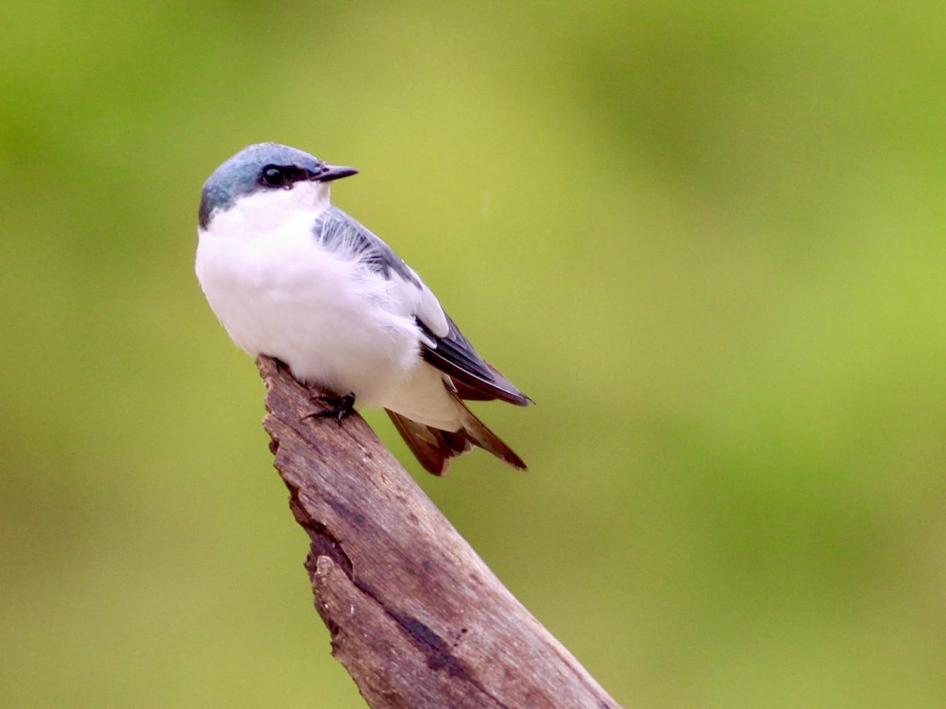 White-winged Swallow - Alex Wiebe