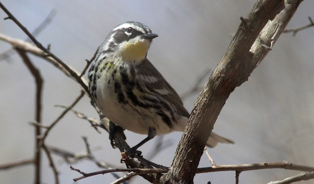 Yellow-rumped x Yellow-throated Warbler (hybrid)